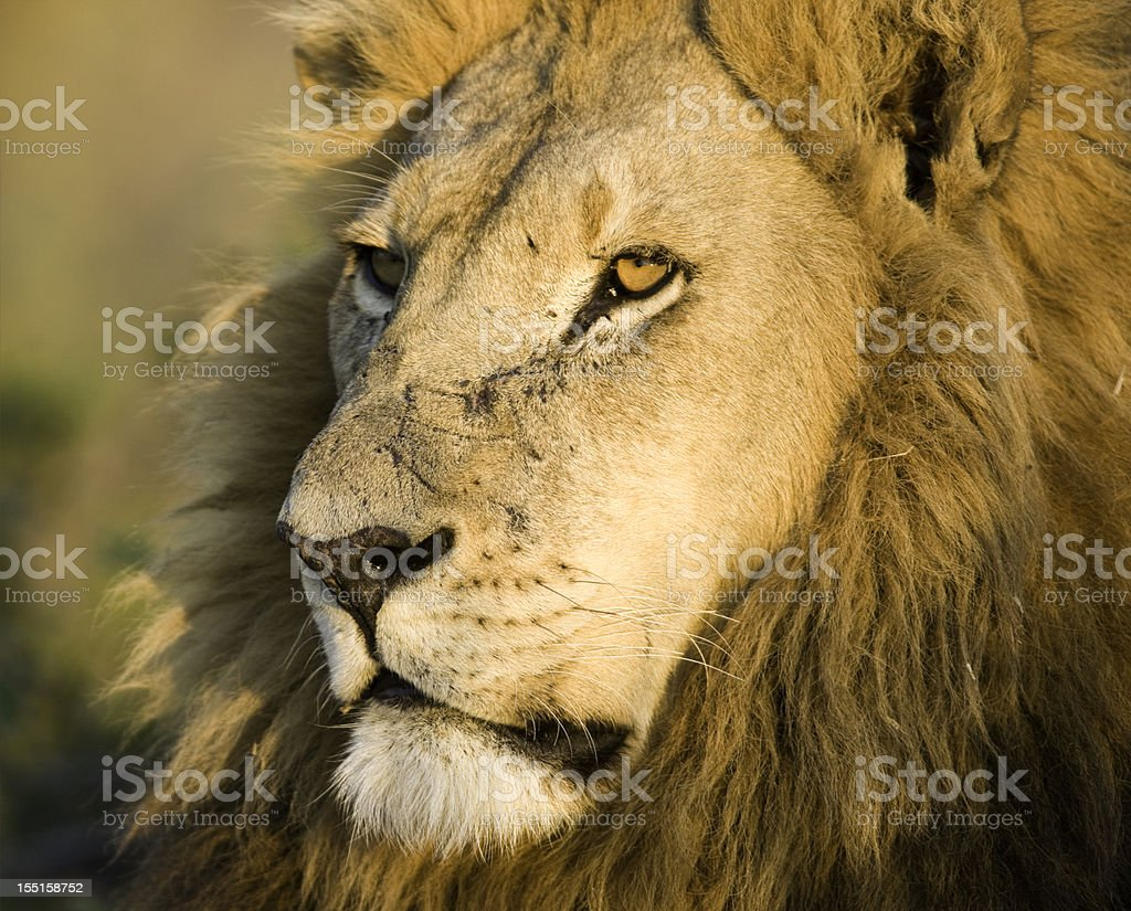 Close-up Male Lion royalty-free stock photo