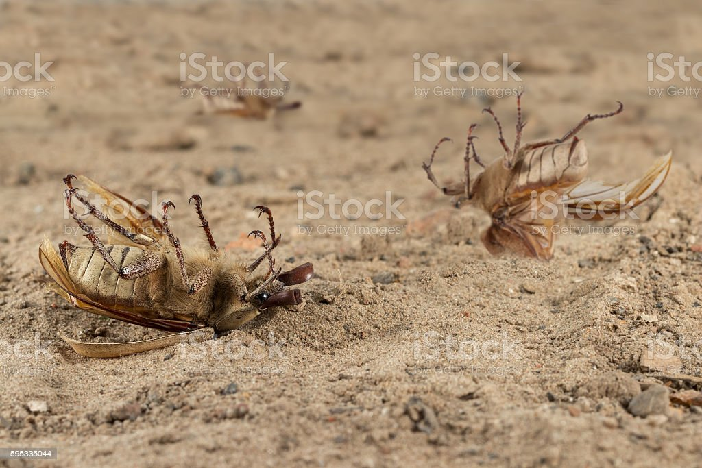 Closeup many dead beetle on sand in desert. Extermination. stock photo