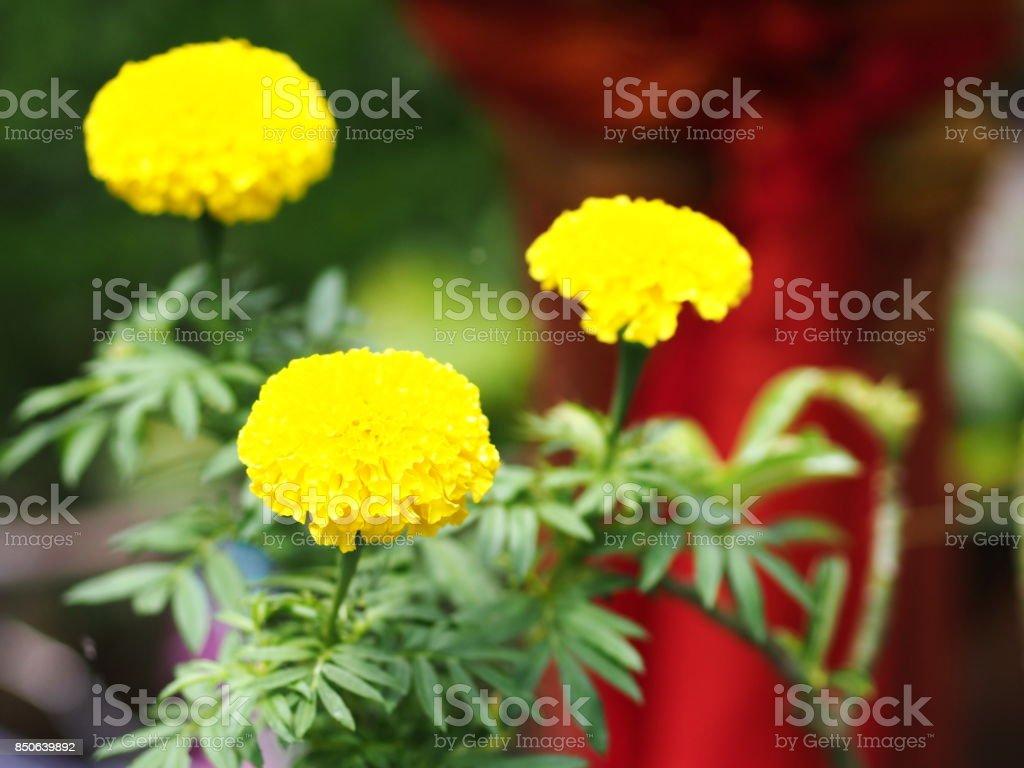 Closeup Marigold Flowers Plant after summer rain stock photo