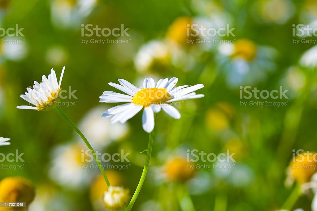 close-up meadow chamomiles royalty-free stock photo
