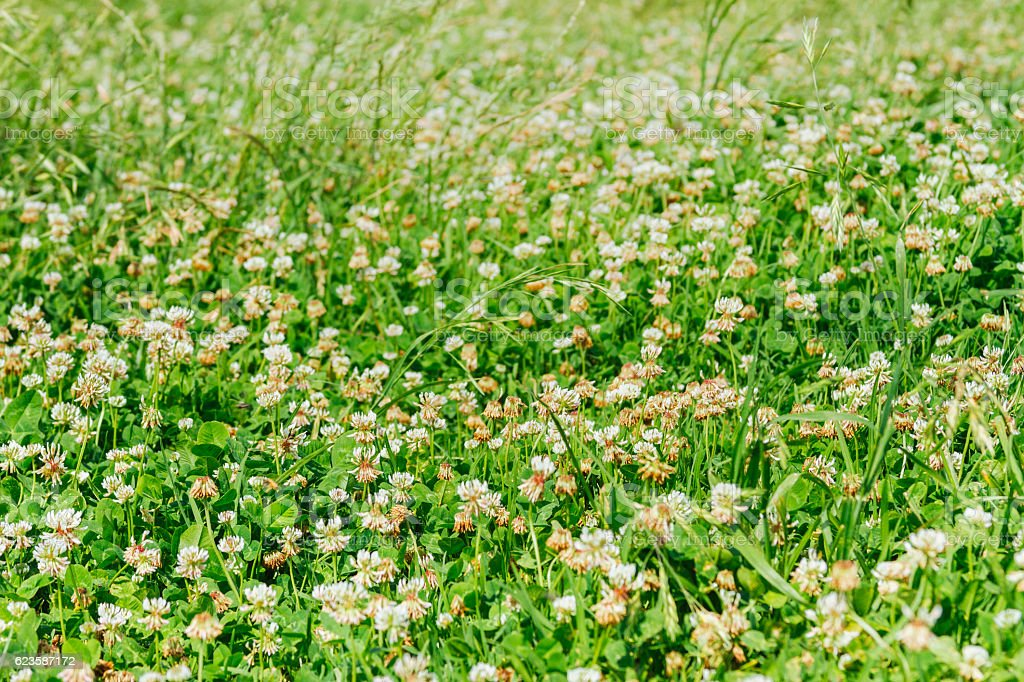 Close-up meadow of white shamrocks flowered with sunlight stock photo