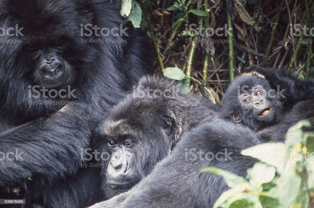 Closeup Mountain Gorillas Parents Baby Volcanoes National Park Rwanda Africa stock photo