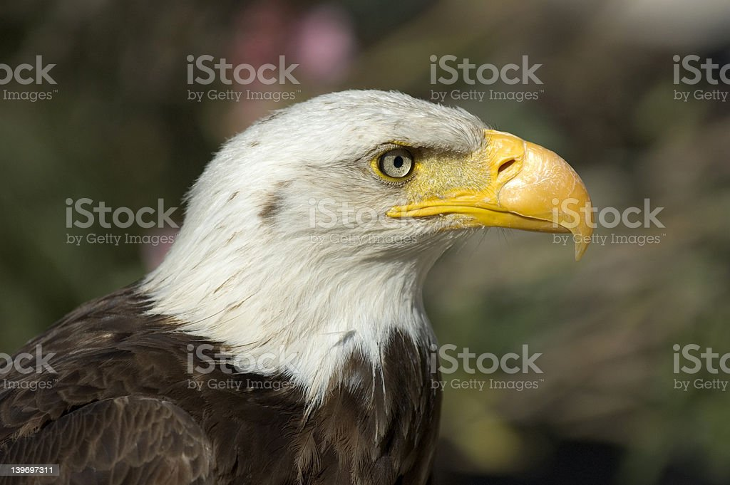 close-up north american bald eagle stock photo