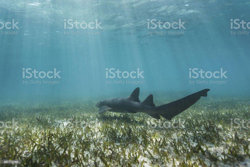 Closeup nurse shark swimming above coral reef stock photo