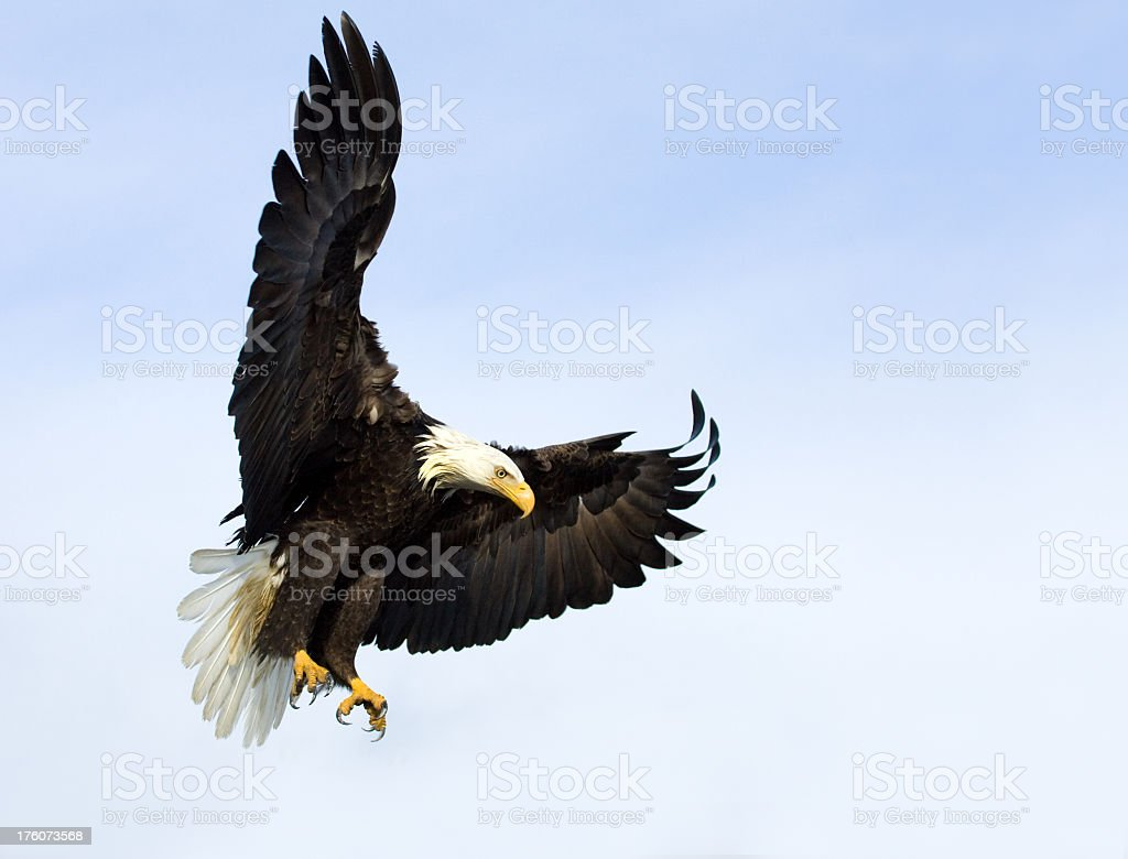 Close-up of a Bald Eagle about to land and blue skies royalty-free stock photo