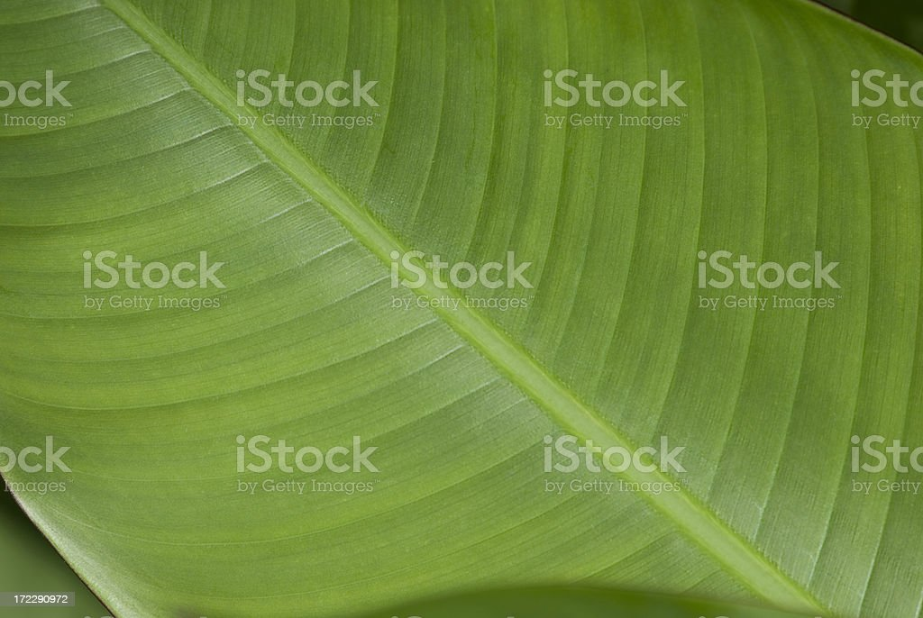 Close-up of a Banana Leaf 1 royalty-free stock photo
