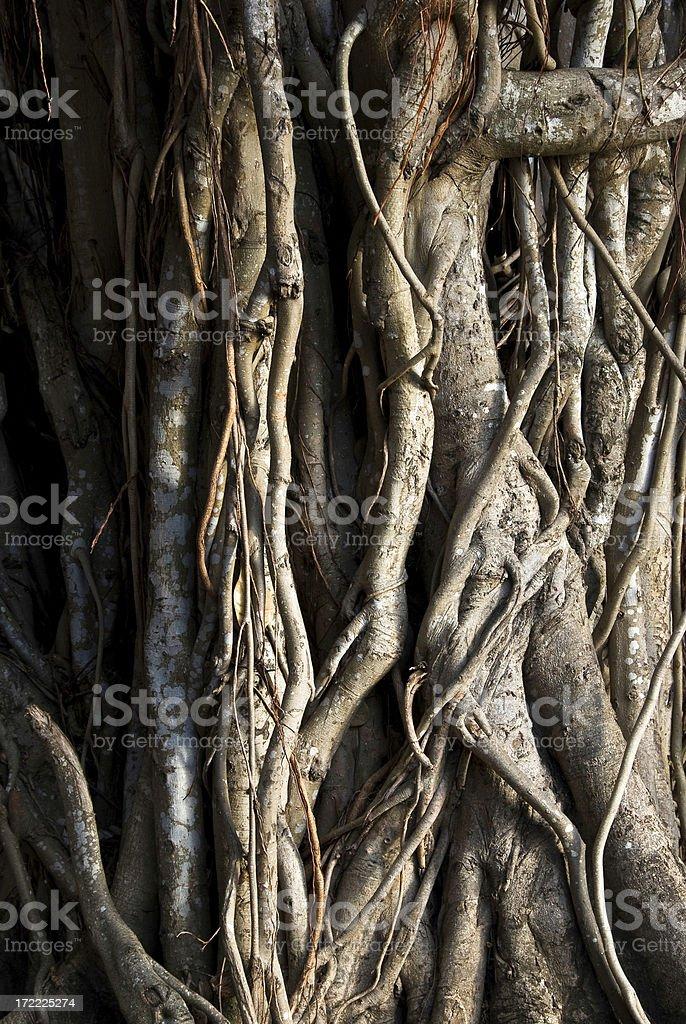 Close-up of a Banyan interlaced roots stock photo