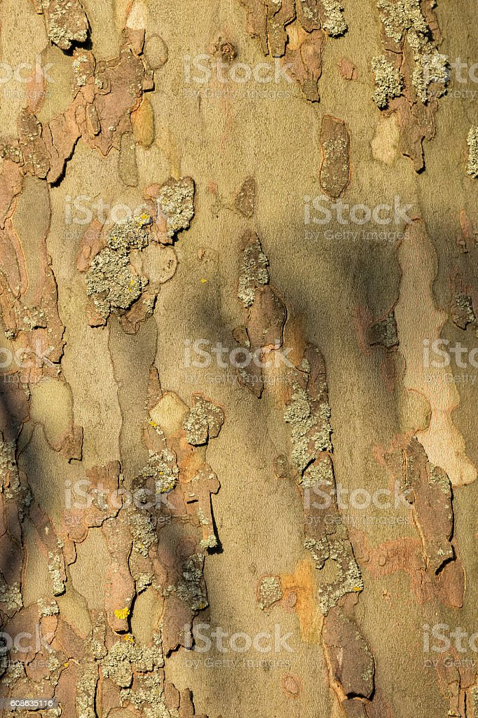Close-up of a bark of old plane tree stock photo