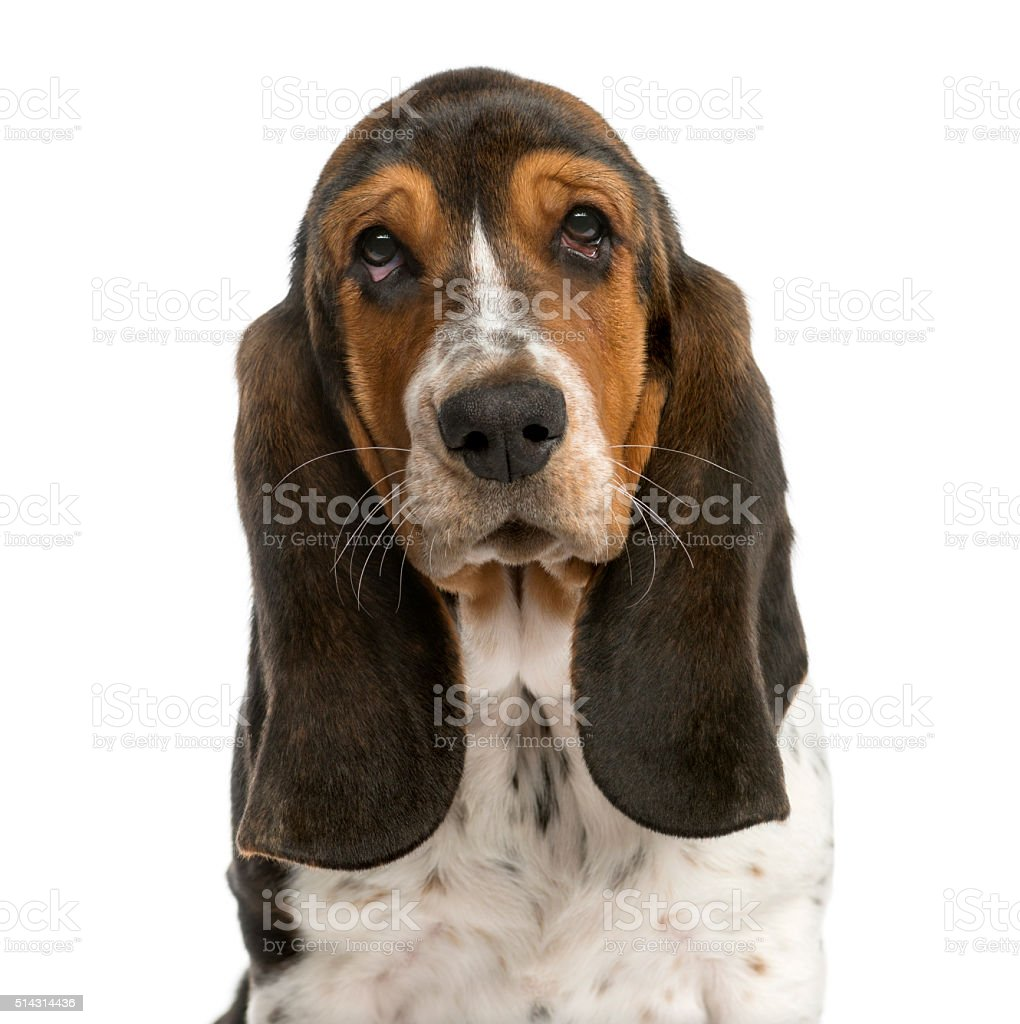 Close-up of a Basset Hound stock photo