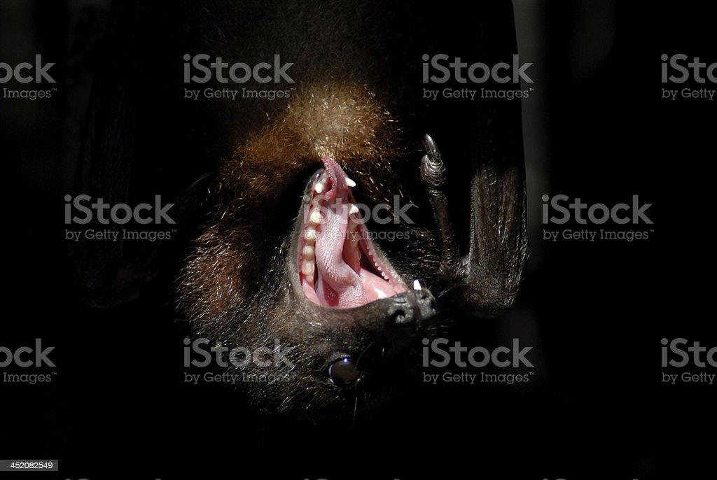 Closeup of a Bat Yawning, on Black Background stock photo