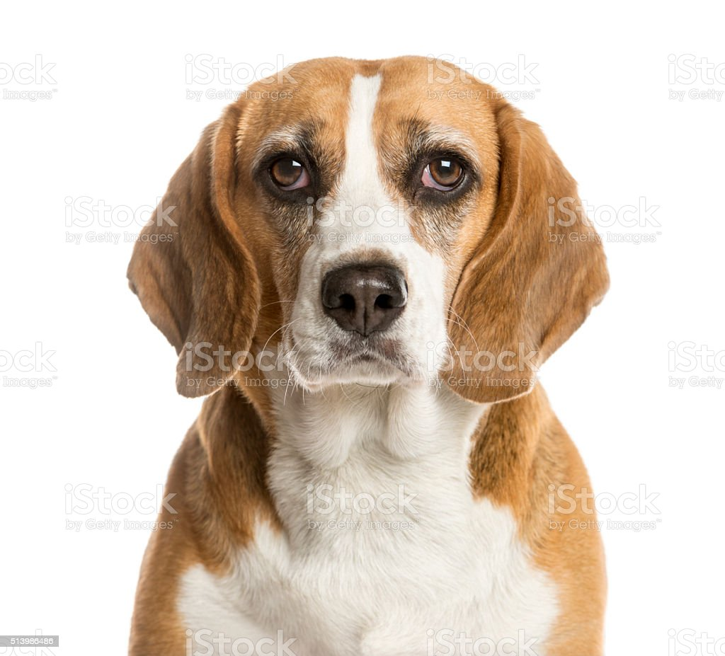 Close-up of a Beagle in front of a white background stock photo