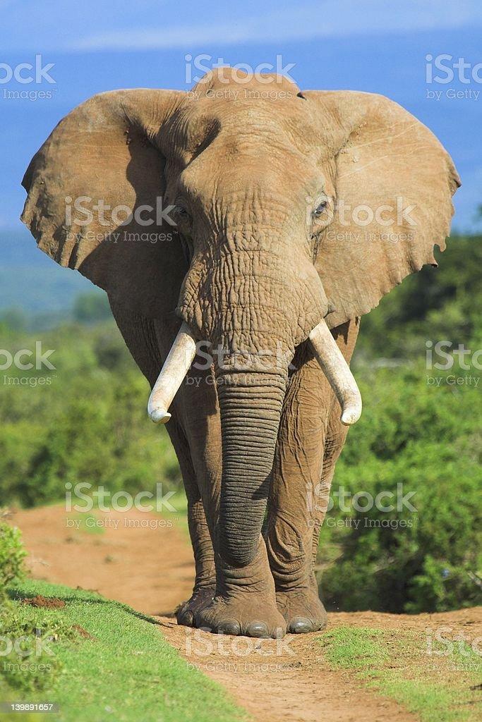 A close-up of a beautiful elephant stock photo