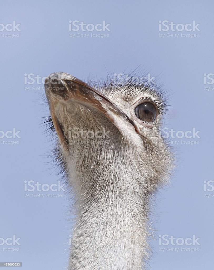 Closeup of a beautiful Ostrich royalty-free stock photo