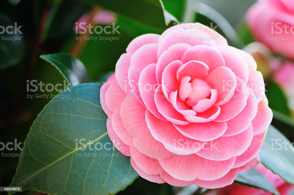 Close-up of a beautiful pink Camellia with green leaves stock photo
