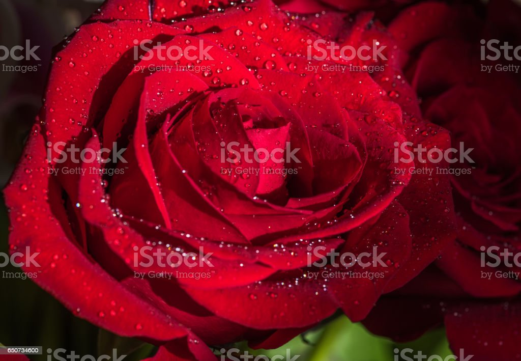 Closeup of a beautiful red rose covered with dew drops stock photo