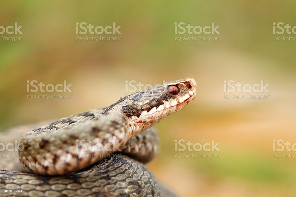 closeup of a beautiful vipera berus stock photo