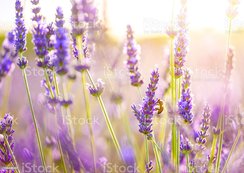 Close-up of a bee in lavender field in Provence, France. stock photo