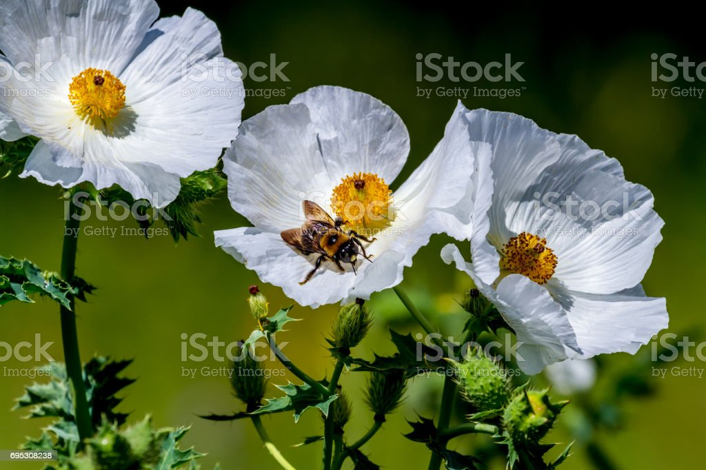 Closeup of a Bee on a White Prickly Poppy Wildflower Blossom in Texas stock photo