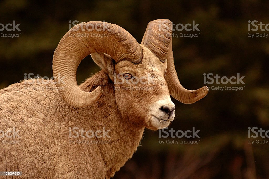 Closeup of a bighorn in the mountains stock photo