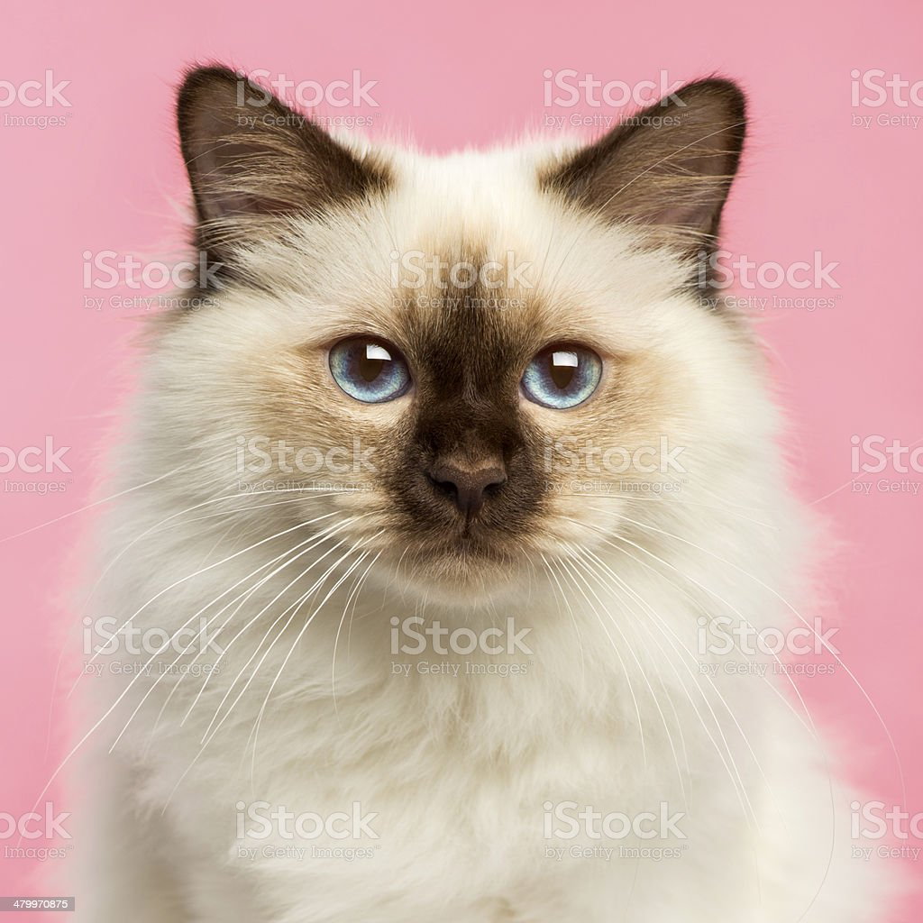 Close-up of a Birman kitten looking at the camera stock photo
