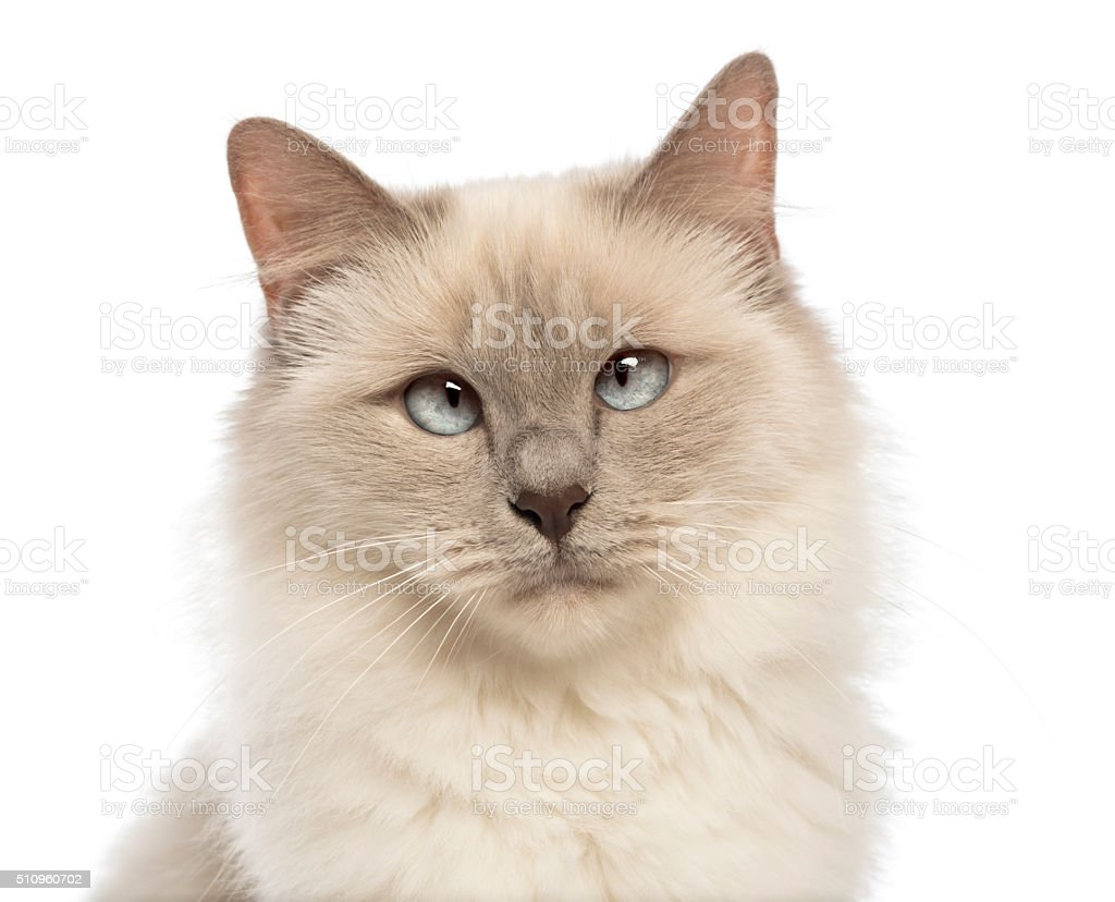 Close-up of a Birman looking at camera, crossed-eyes stock photo