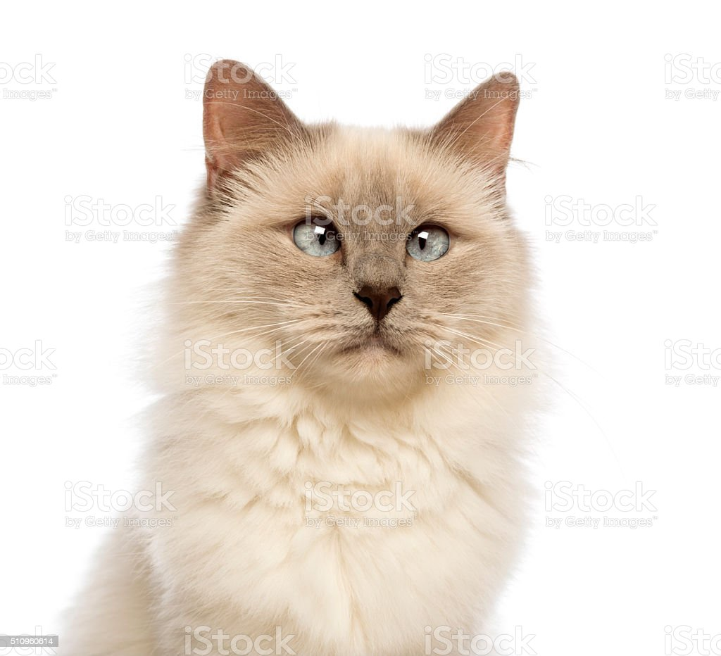 Close-up of a Birman looking away, crossed-eyes against white background stock photo