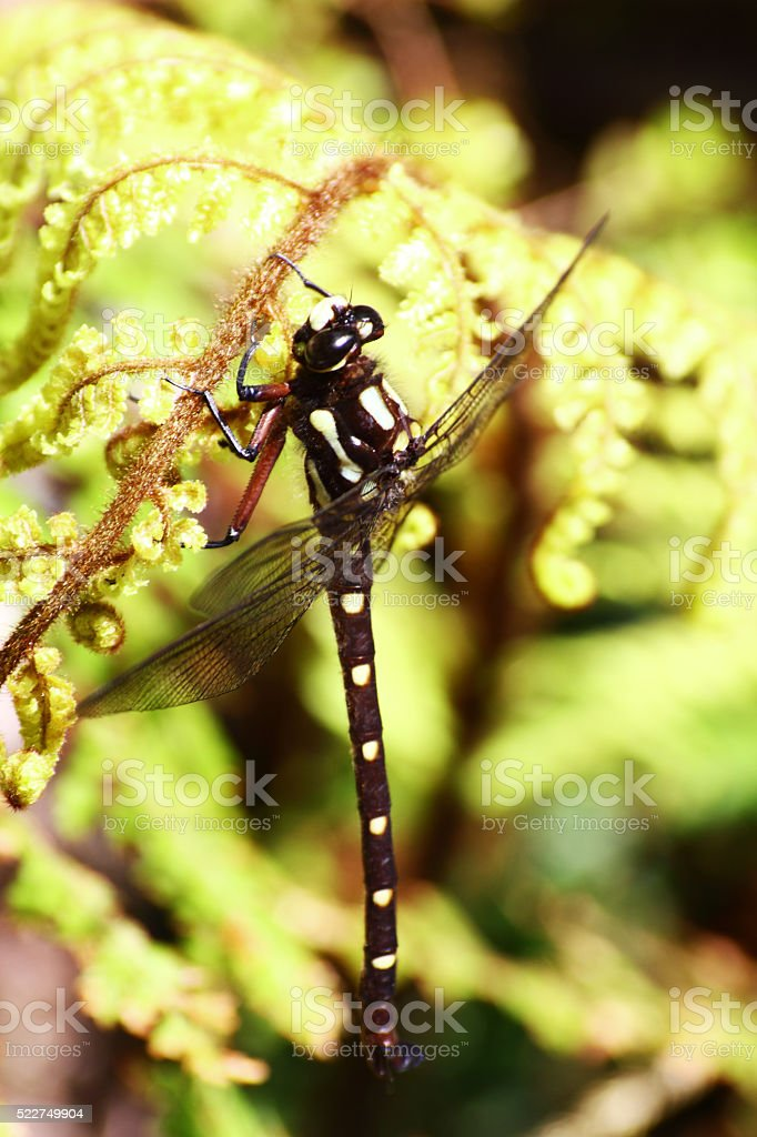 Close-up of a black and yellow Dragonfly, New Zealand stock photo