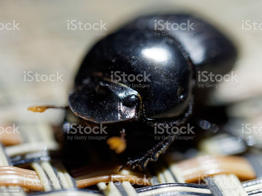 Close-up of a black beetle stock photo