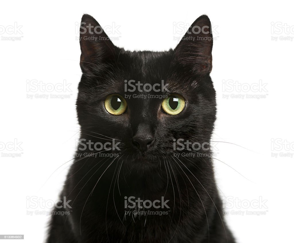 Close-up of a Black cat in front of white background stock photo