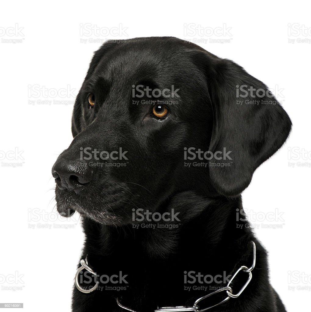 close-up of a black Labrador royalty-free stock photo