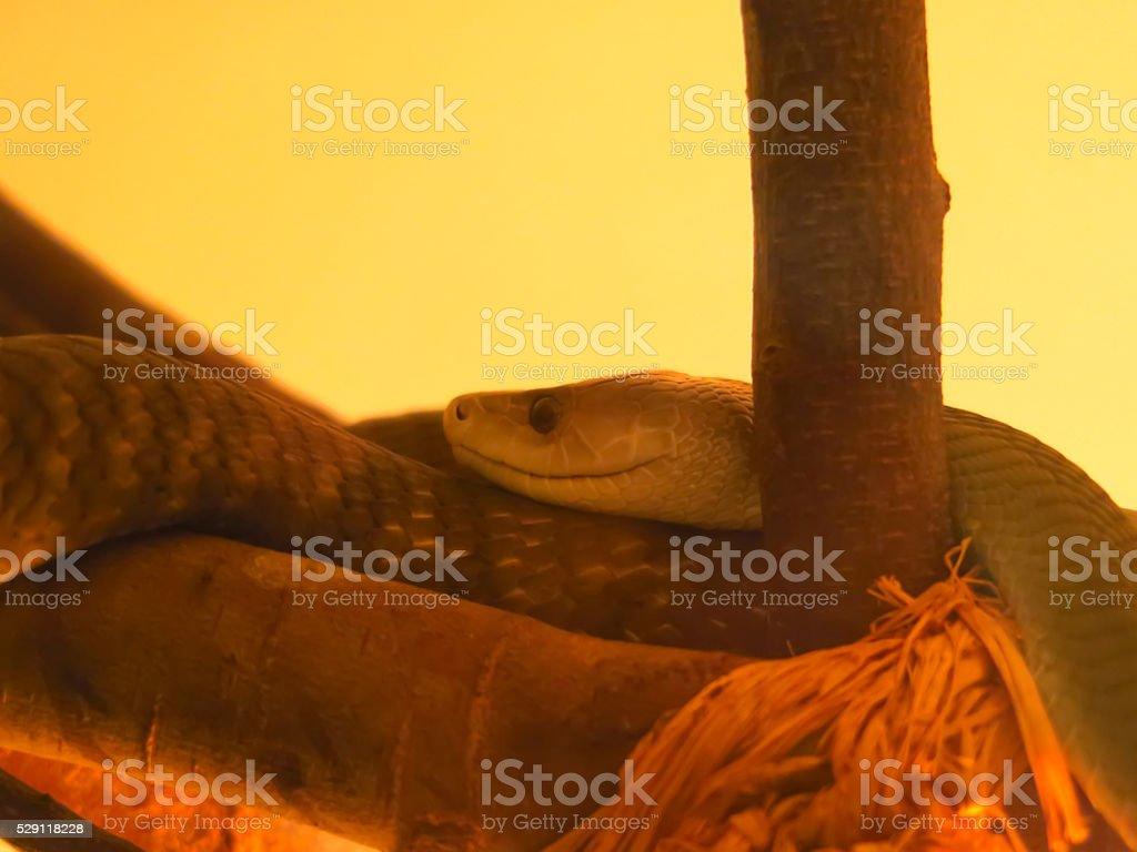 Close-up of a black mamba stock photo