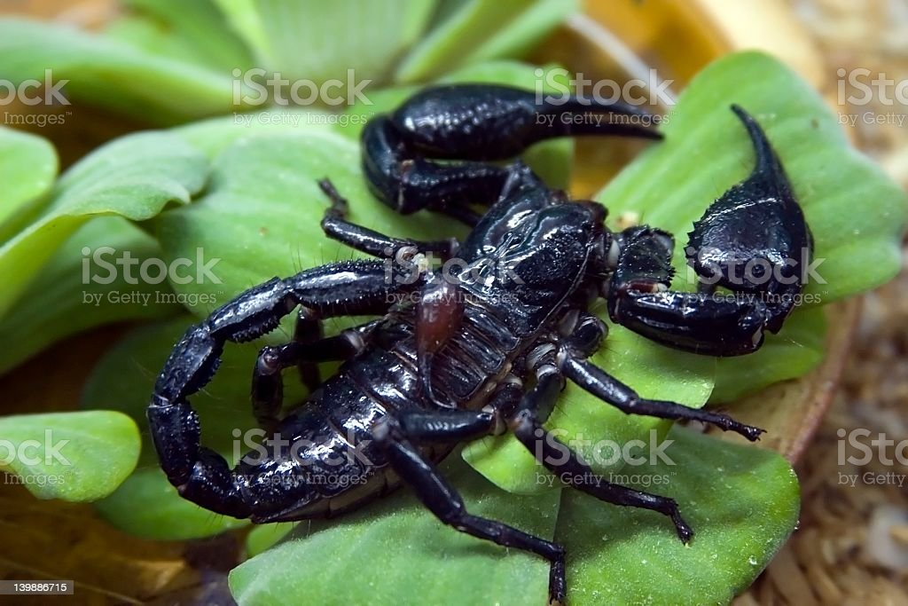 Close-up of a black scorpion on a green leaf royalty-free stock photo