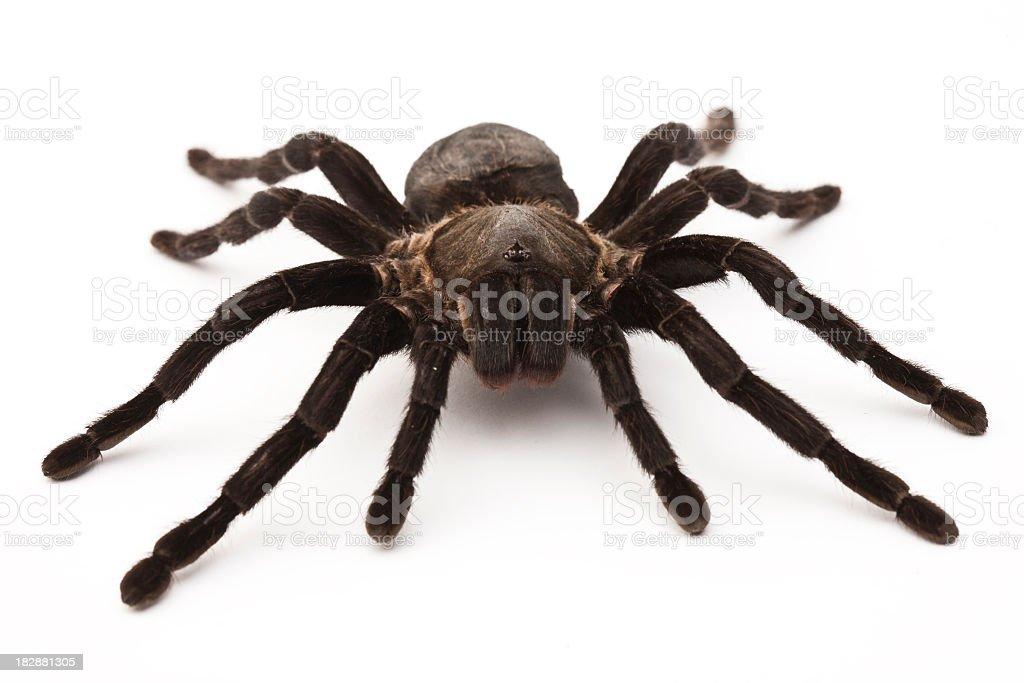 Close-up of a black tarantula over a white background stock photo