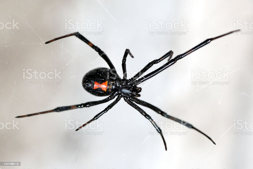 A close-up of a black widow spider on a web stock photo