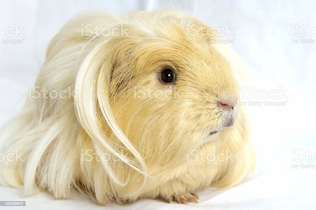 Close-up of a blond Guinea pig looking away from camera  royalty-free stock photo
