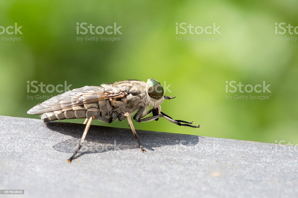 Closeup of a blood sucking fly stock photo