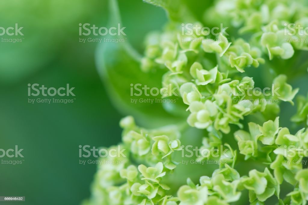 Closeup of a blooming green snowball flower. Copy space stock photo