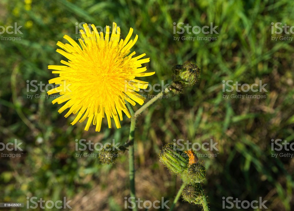 Closeup of a blooming  Sonchus arvensis stock photo