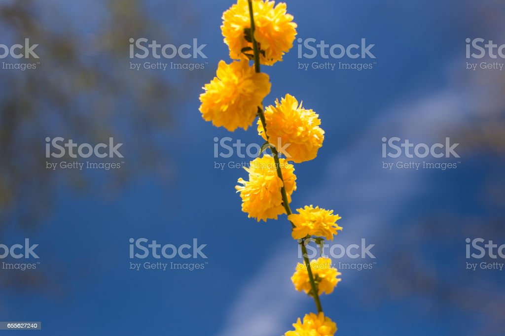 Close-up of a blooming yellow Double Flowered Japanese Rose in Spring stock photo