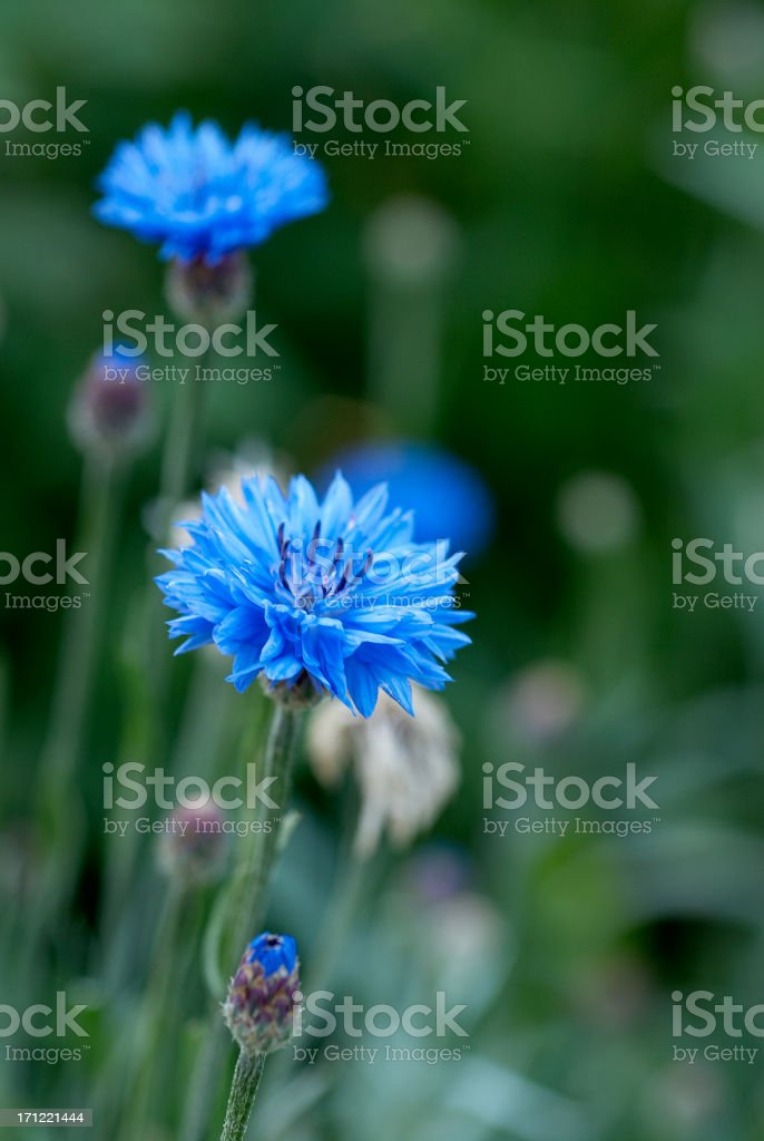Close-up of a blue cornflower in a field royalty-free stock photo