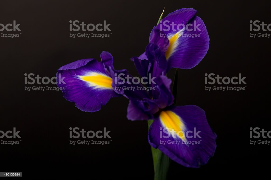 Closeup of a blue flag iris over black royalty-free stock photo