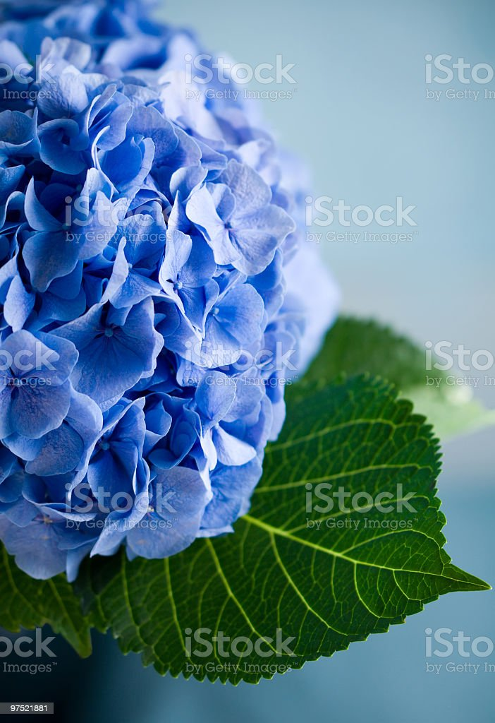 A close-up of a blue hydrangea on a blue background stock photo