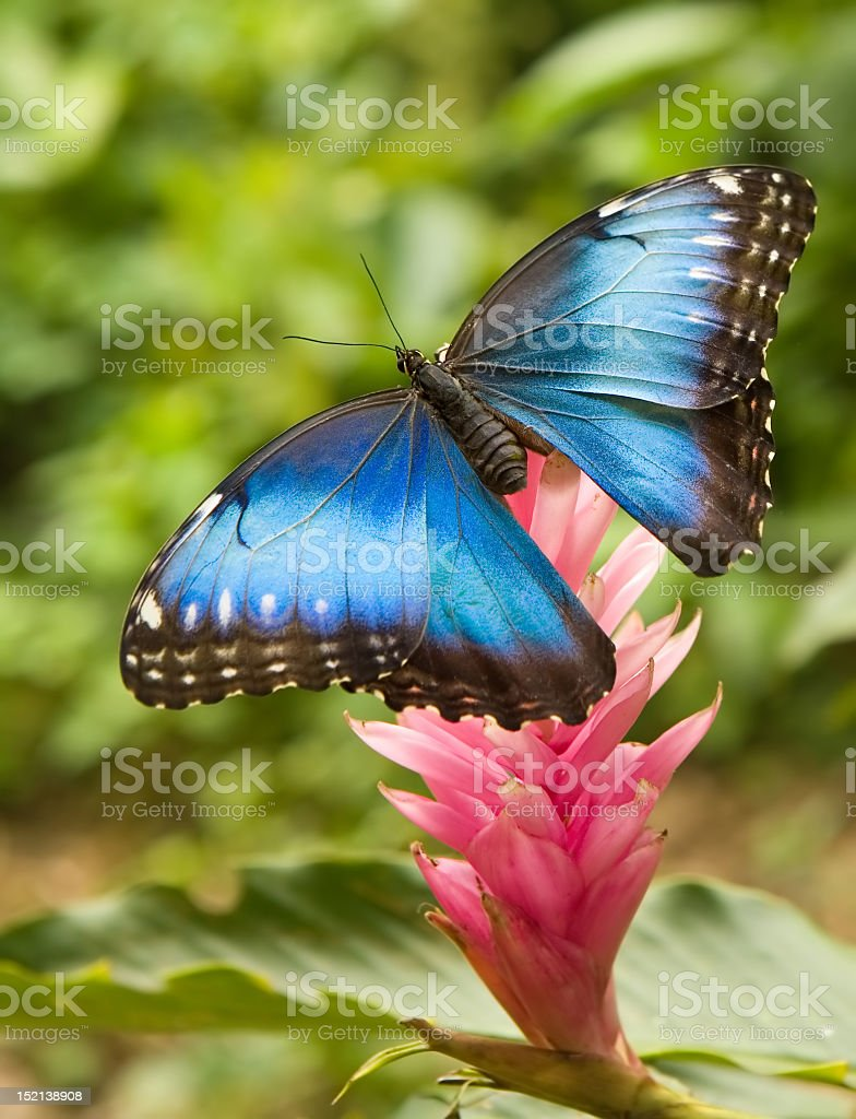 Close-up of a blue morpho on a flower stock photo