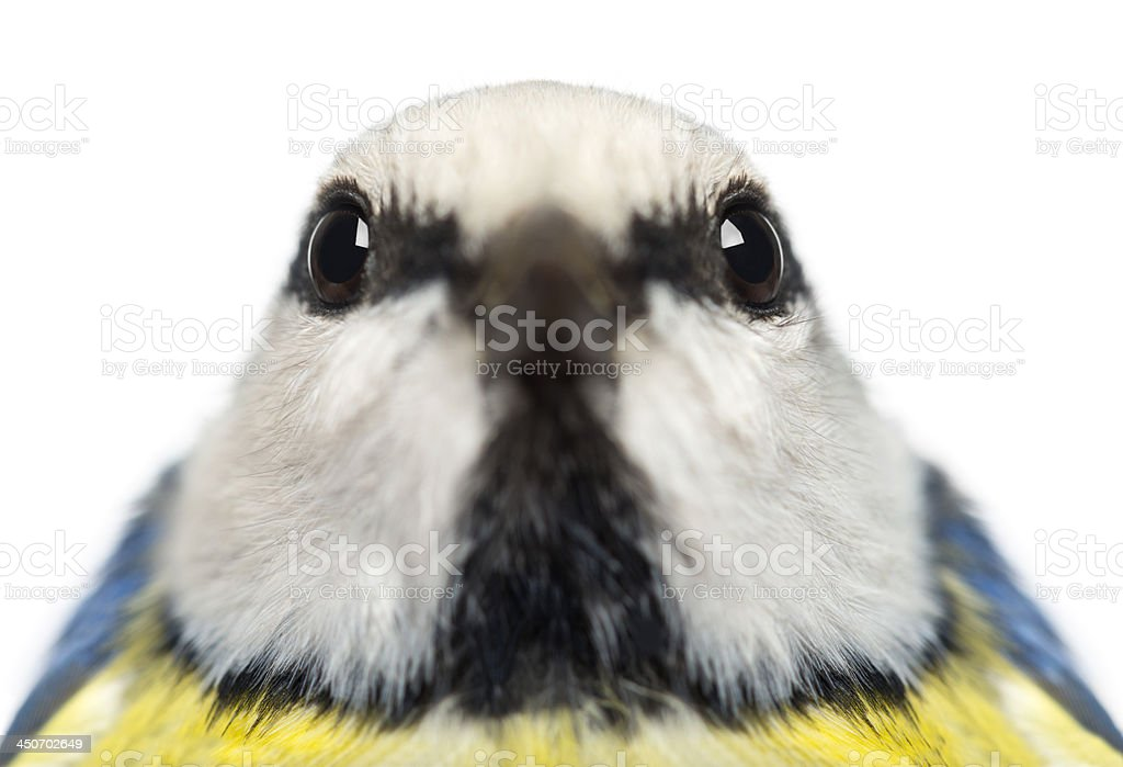 Close-up of a Blue Tit facing, Cyanistes caeruleus, isolated stock photo