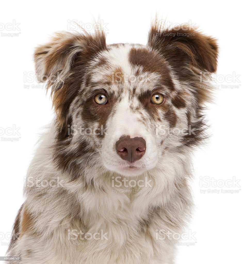 Close-up of a Border Collie isolated on white stock photo