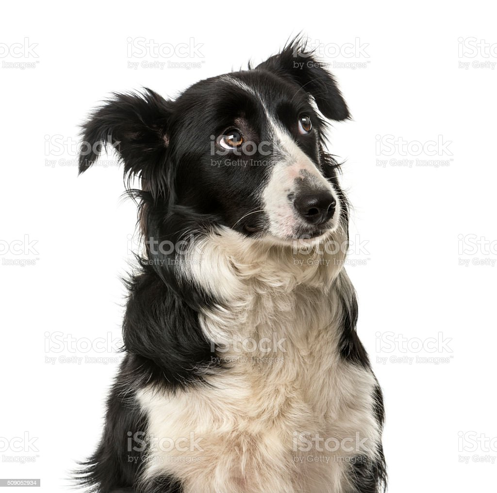 Close-up of a Border Collie stock photo