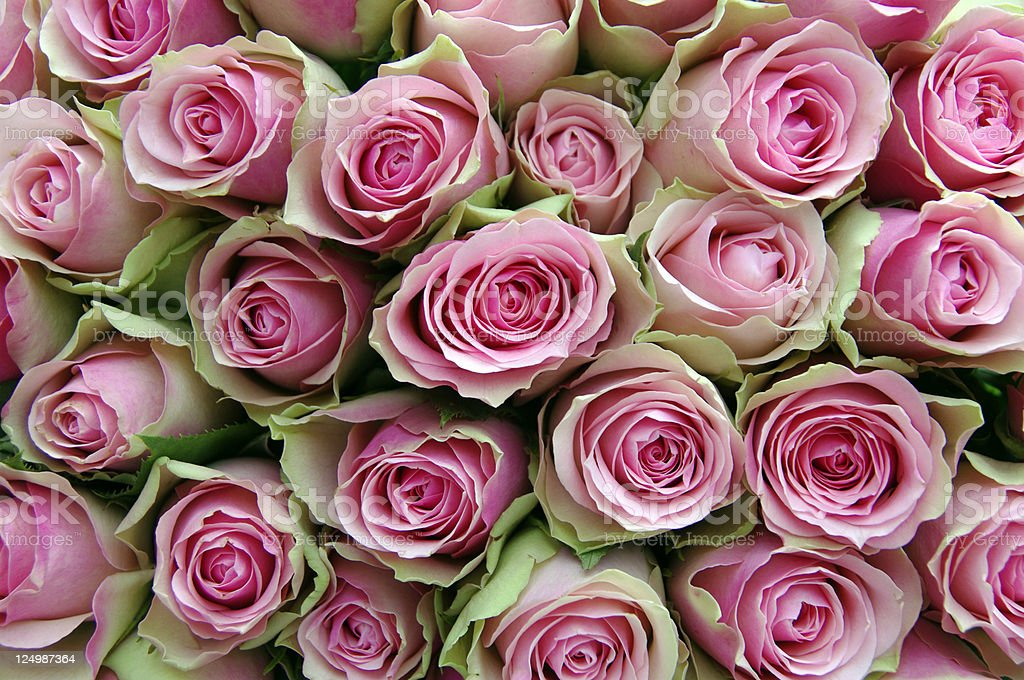 Close-up of a bouquet of pink and green roses royalty-free stock photo