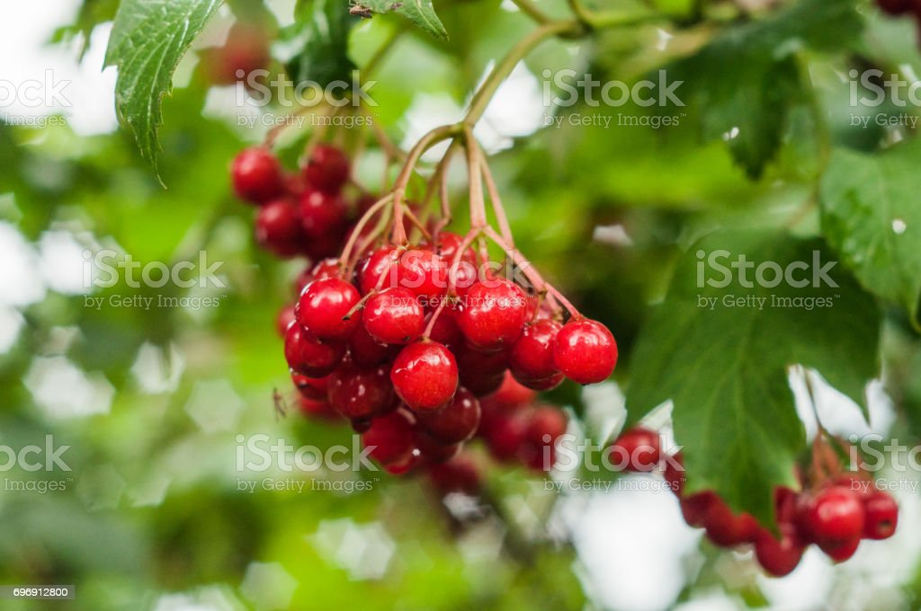 A closeup of a branch of a red arrowwood berries with flecks stock photo