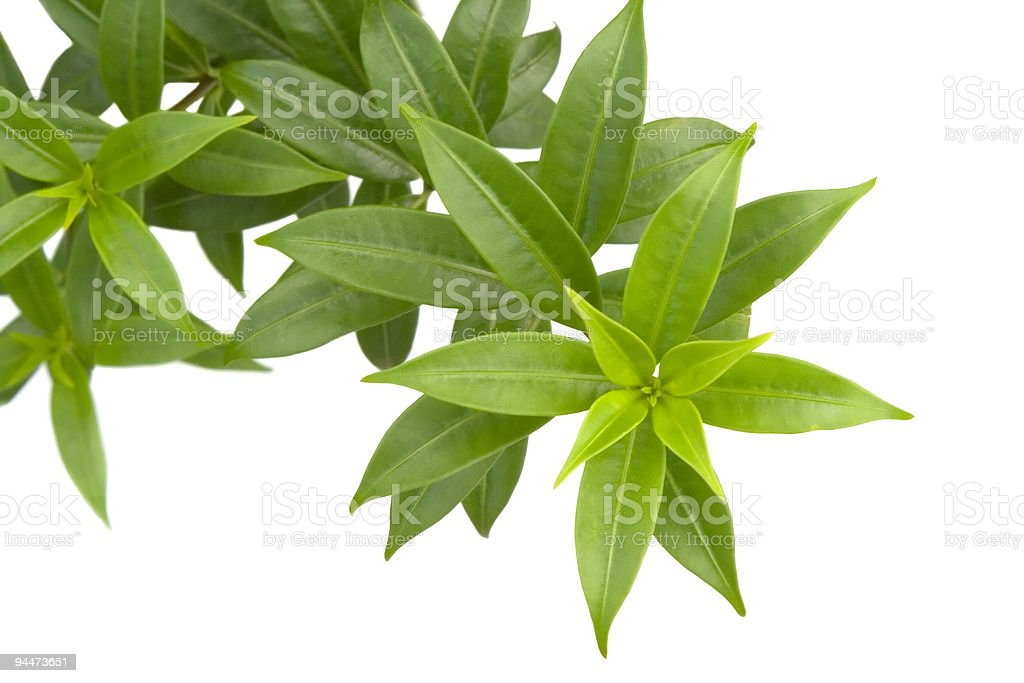 Close-up of a branch of green leaves on a white background stock photo