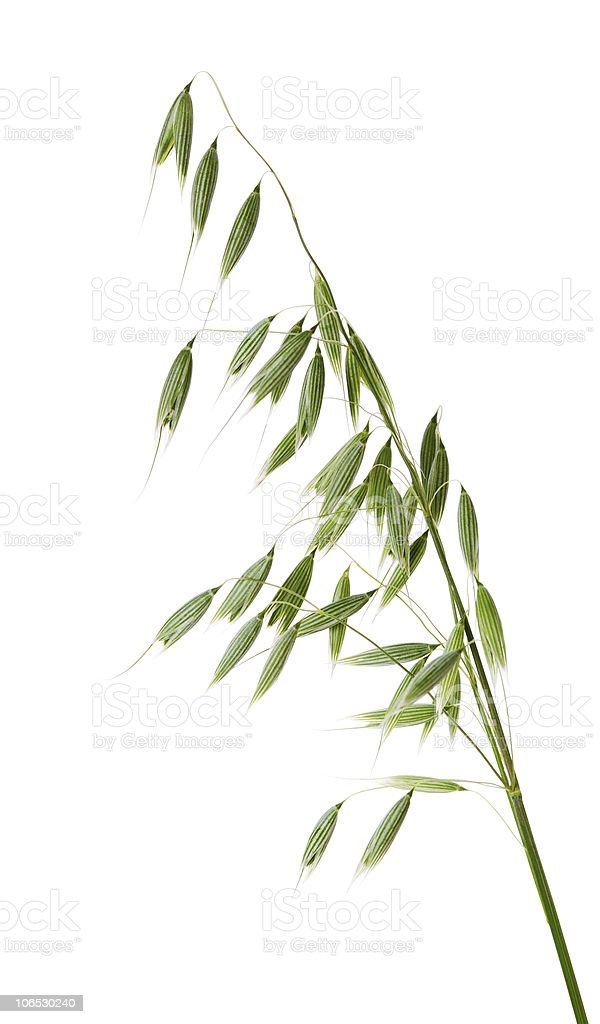 Close-up of a branch of green oats royalty-free stock photo
